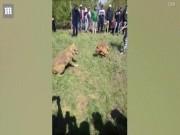 Thế giới - Chó sói khổ sở chống đỡ chó nhà trong trận chiến sinh tử