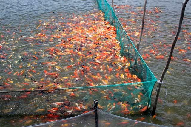 """Lão nông canh con nước """"độc"""" nuôi cá cảnh, thu cả trăm triệu/tháng - 3"""