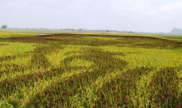 Độc đáo tranh Bác Hồ hiện ra trên cánh đồng khi lúa chín - 3