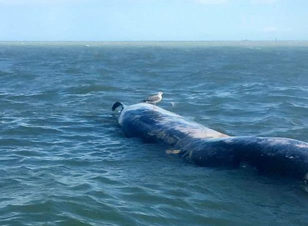"""Xác cá voi khổng lồ liên tiếp """"cập bờ"""" biển Anh - 3"""