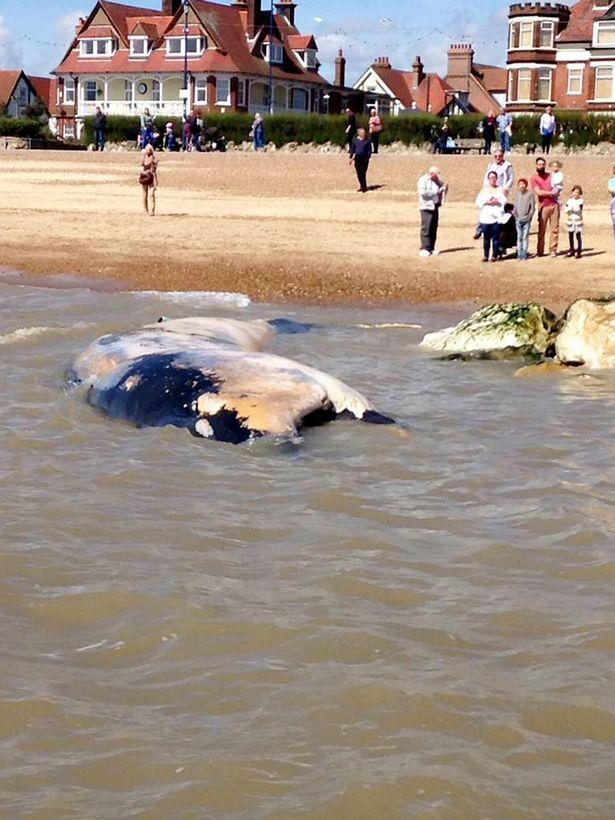 """Xác cá voi khổng lồ liên tiếp """"cập bờ"""" biển Anh - 4"""