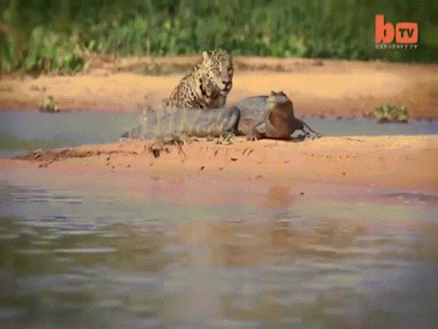 Báo hoa mai sợ hãi sau khi lỡ tát vào mặt cá sấu khổng lồ - 3