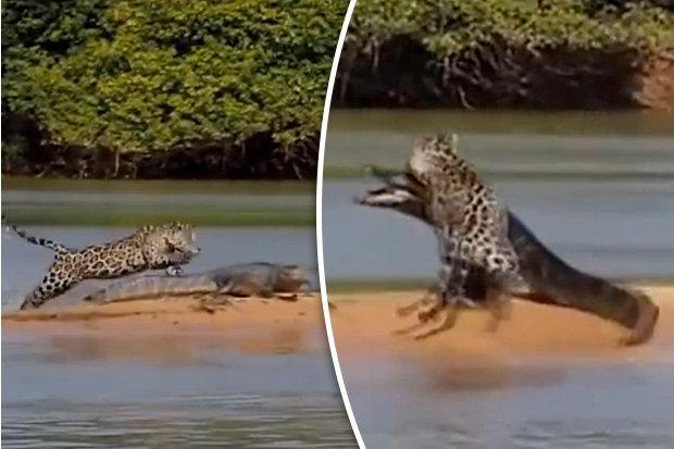 Video: Báo đốm sát thủ hạ gục cá sấu bằng đòn chí mạng - 1