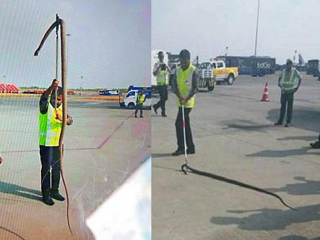 Trăn khổng lồ bò vào sân bay Ấn Độ, suýt lên máy bay