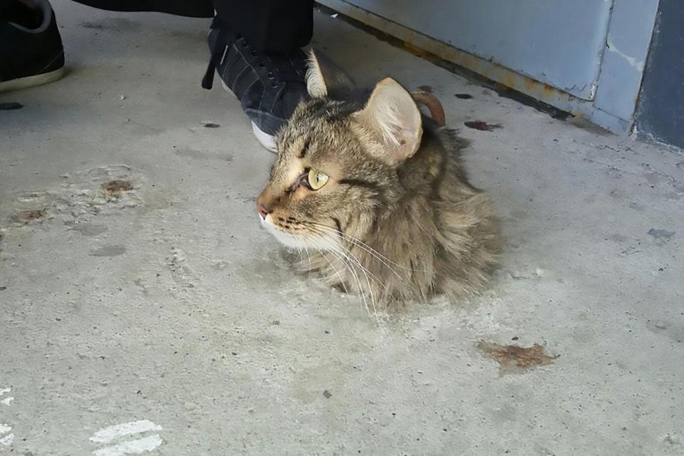 Mèo bị kẹt trong sàn xi măng, quá béo nên không thể chui ra - 1