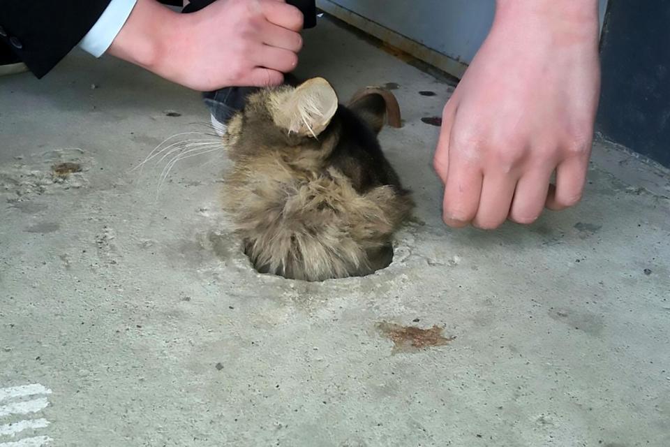 Mèo bị kẹt trong sàn xi măng, quá béo nên không thể chui ra - 2
