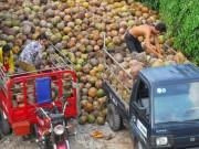 Thị trường - Tiêu dùng - Xứ dừa Bến Tre phải… nhập khẩu dừa