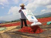 Xót xa giá ớt đang 50.000 rớt còn 3.000 đồng/kg: Lại do Trung Quốc?