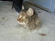 Phi thường - kỳ quặc - Mèo bị kẹt trong sàn xi măng, quá béo nên không thể chui ra