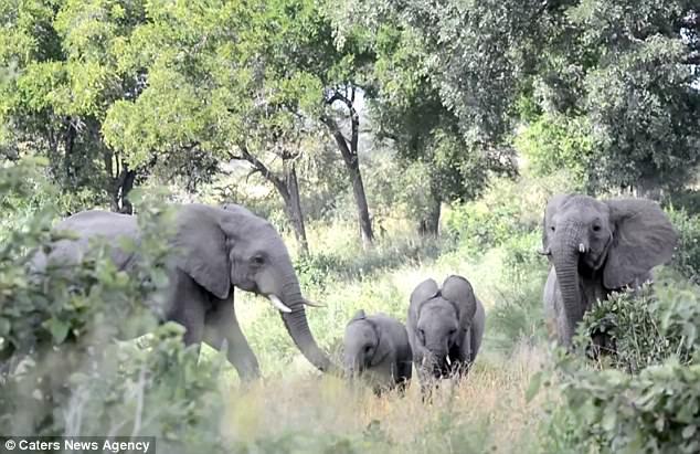 Gặp đối thủ tí hon, đàn voi châu Phi sợ hãi chạy tán loạn - 1