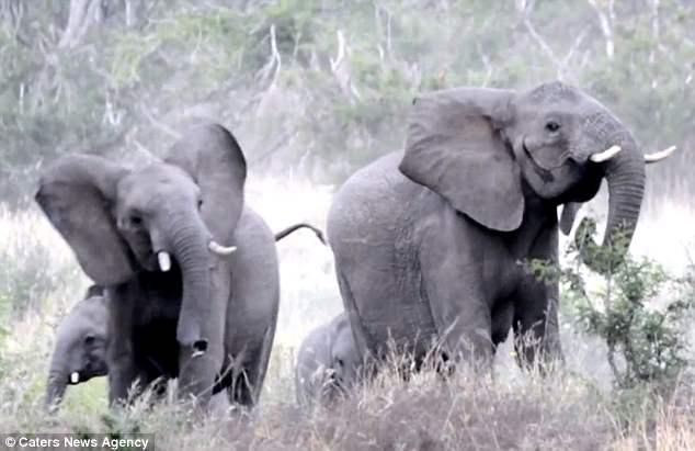 Gặp đối thủ tí hon, đàn voi châu Phi sợ hãi chạy tán loạn - 2