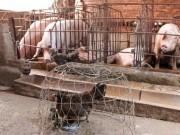 Thị trường - Tiêu dùng - Hậu giải cứu lợn: Không phải cứ chăn nuôi lợn giỏi là thắng