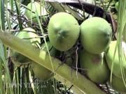 """"""" Đút túi """"  trăm triệu đồng/năm từ 70 cây dừa xiêm"""