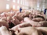 Thị trường - Tiêu dùng - May mà chỉ giải cứu lợn!