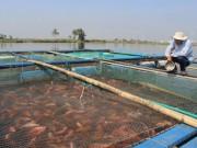 Thị trường - Tiêu dùng - Vì sao nuôi cá lồng lãi cao, nhưng nông dân Đà Nẵng vẫn phập phồng lo lắng?
