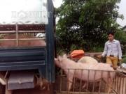 Thị trường - Tiêu dùng - 1 triệu tấn lợn Việt Nam sẽ xuất khẩu chính ngạch sang Trung Quốc