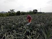 Thị trường - Tiêu dùng - Thanh Hóa: Thương lái Trung Quốc ồ ạt mua dứa xanh bất thường