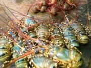 Thị trường - Tiêu dùng - Hơn 520.000 con tôm hùm bị chết ở Phú Yên: Nguyên nhân gì?