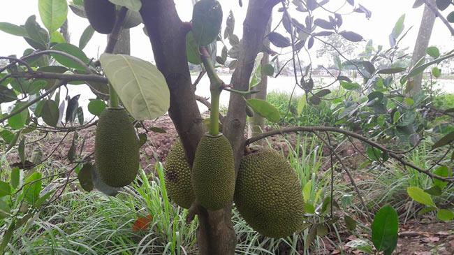 Vườn mít Thái tiền tỷ toàn quả khổng lồ giữa cánh đồng Đít Đó - 3