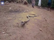 Hổ mang chúa khổng lồ quằn quại nôn ra chai nhựa to đùng