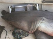 Cá mập trắng lớn tự dưng bay vào thuyền ngư dân Úc