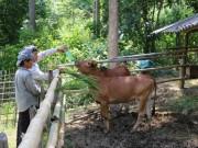 Thị trường - Tiêu dùng - Ở nơi thâm sơn cùng cốc, chăn nuôi mà khấm khá với đàn bò 20 con