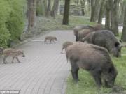 Thế giới - Ba Lan: Đàn lợn rừng qua đường theo vạch cho người đi bộ