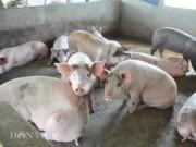 """Thị trường - Tiêu dùng - Khủng hoảng lợn """"lây lan"""" đến cả bò thịt, trứng, sữa..."""