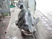 """Tin Hà Nội - Cá tầm đen óng, nặng hơn 100kg từ Nga """"bay"""" về Hà Nội"""