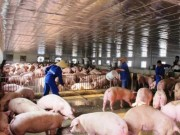 Thị trường - Tiêu dùng - Lợn hơi tăng giá, tồn kho không còn nhiều