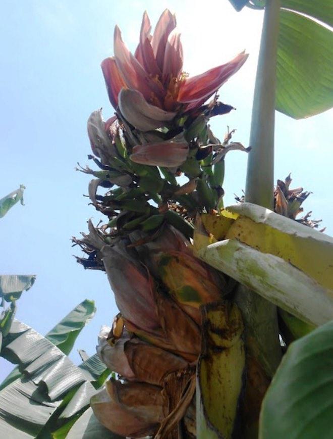 Đổ xô đi xem cây chuối hột kỳ lạ nở ra 21 hoa - 2