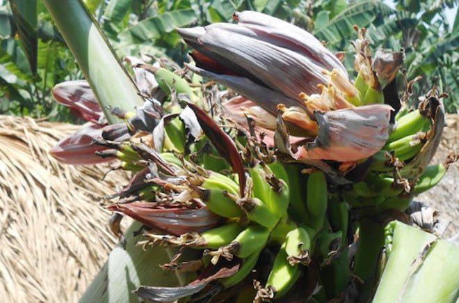 Đổ xô đi xem cây chuối hột kỳ lạ nở ra 21 hoa - 4