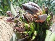 Đổ xô đi xem cây chuối hột kỳ lạ nở ra 21 hoa