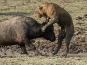 Thế giới - Trâu rừng liều mình quyết chiến lần cuối với sư tử