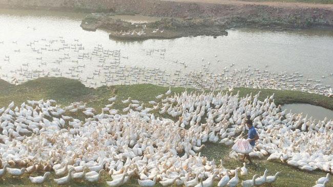 Chủ trại 13.000 con vịt khóc thét vì giá giảm còn 20.000 đồng/kg - 1