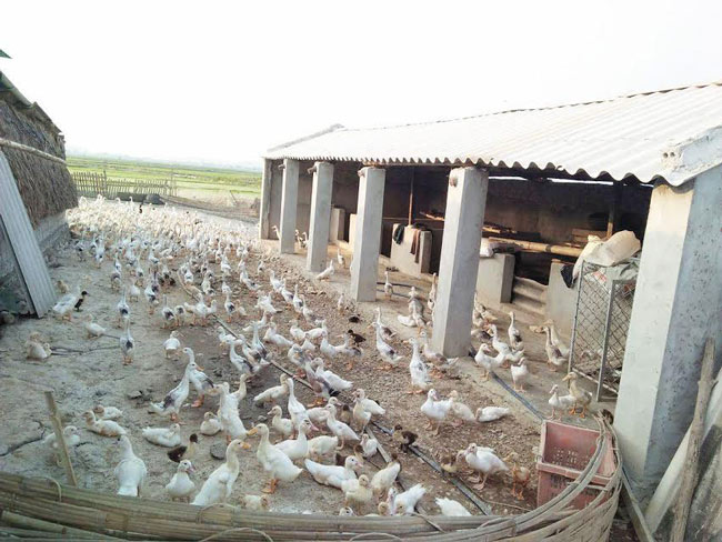 Chủ trại 13.000 con vịt khóc thét vì giá giảm còn 20.000 đồng/kg - 2