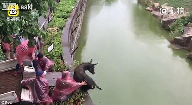 TQ: Ném con lừa sống vào chuồng có 3 hổ đói - 1