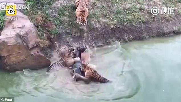TQ: Ném con lừa sống vào chuồng có 3 hổ đói - 2