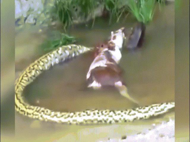 """Nhảy xuống sông chụp """"tự sướng"""" với trăn khổng lồ anaconda - 3"""