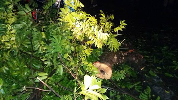 HN: Cành cây cổ thụ đè trúng 2 người sau trận cuồng phong - 3