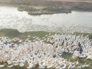 Thị trường - Tiêu dùng - Chủ trại 13.000 con vịt khóc thét vì giá giảm còn 20.000 đồng/kg