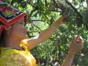 Thị trường - Tiêu dùng - Trồng cây vừa ngắm hoa, vừa bán quả, lãi nửa tỷ đồng/năm