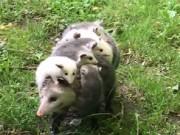 Bạn trẻ - Cuộc sống - Clip: Chồn mẹ cõng 12 con trên lưng hút triệu lượt xem
