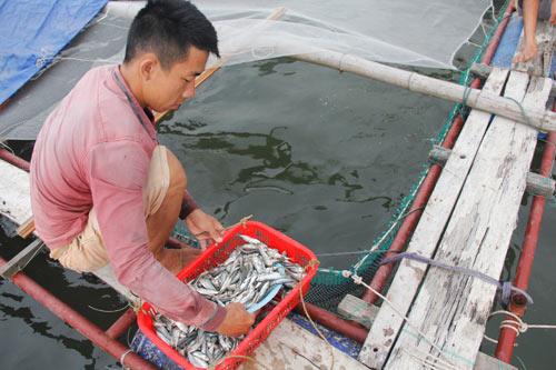 Bỏ lương 9 triệu về làng nuôi cá lồng muốn lãi 200 triệu/năm - 3
