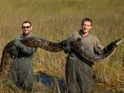Thế giới - Mỹ: Bắt được 1,8 tấn trăn khổng lồ sau 2 tháng săn lùng