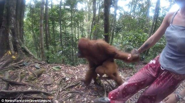 """Indonesia: Đười ươi giữ rịt tay cô gái, định """"bắt cóc"""" - 2"""