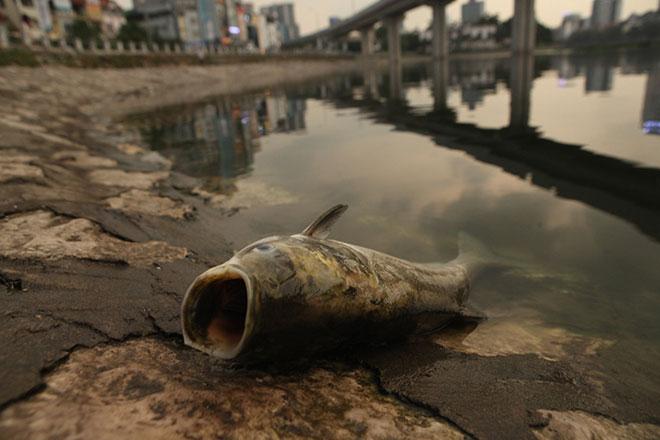 HN: Tròn 1 năm, cá lại chết trắng hồ Hoàng Cầu - 8