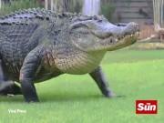 Phi thường - kỳ quặc - Video: Cá sấu khổng lồ huyền thoại nghênh ngang quanh sân golf