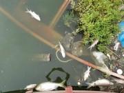 Tin tức trong ngày - HN: Tròn 1 năm, cá lại chết trắng hồ Hoàng Cầu