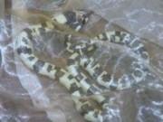 Phi thường - kỳ quặc - Tỉnh dậy thấy tay đau, rắn nằm dưới sàn, hốt hoảng kêu cứu